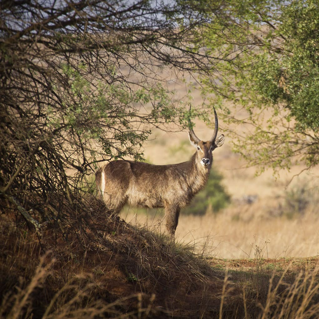 Johannesburg, Waterbuck, Gauteng Province, SOUTH AFRICA, Kruger National Park, Horned beast, deer, travel in South Africa