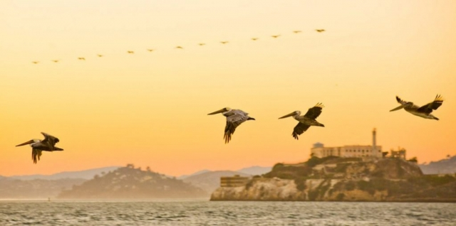 San Francisco, Pelicans over Alcatraz, USA, pelicans in flight, Alcatraz Island, Sunset over Alcatraz, Pier 39, San Francisco Bay, SF