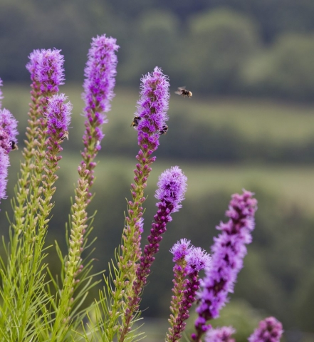 Lavender, Honey bees, collecting pollen, Lilac, gardens, Marbella garden