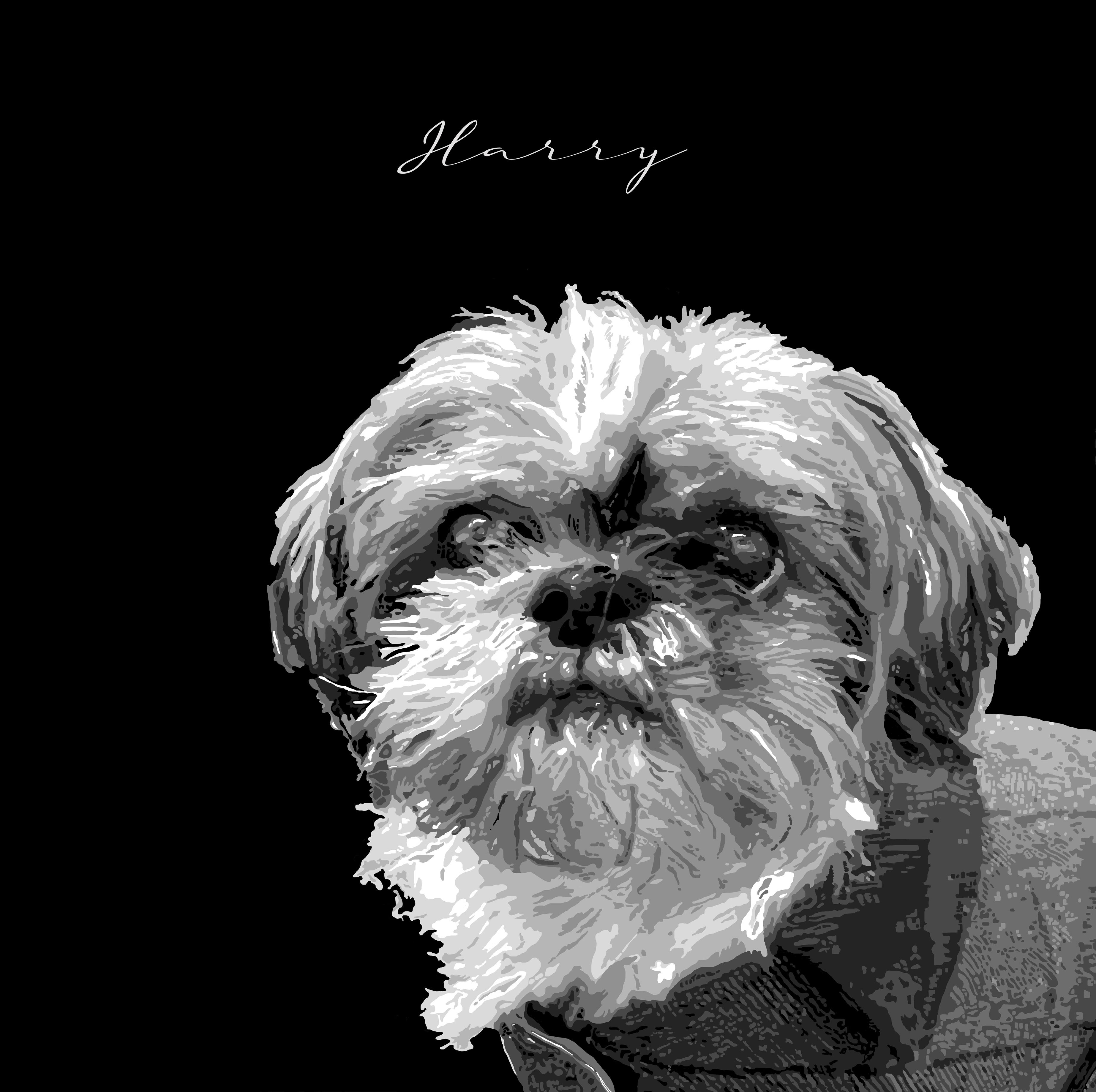 Harry - The Shih Zhu Dog