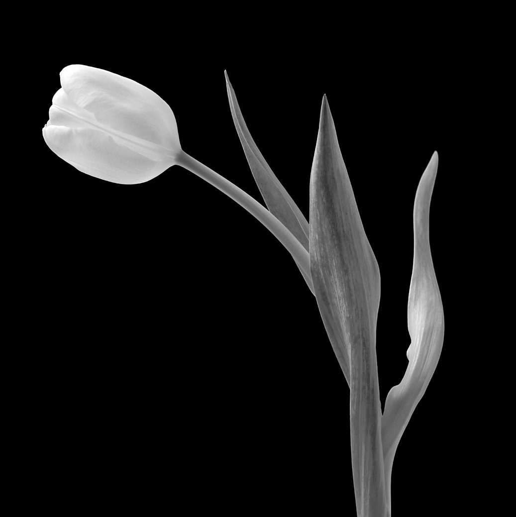 Art, Limited Edition, Tulip, Black and White , Maplethorpe inspired, Photographic Print
